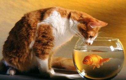 Bộ hình nền chú mèo ngộ nghĩnh với những bình cá đẹp cho máy tính