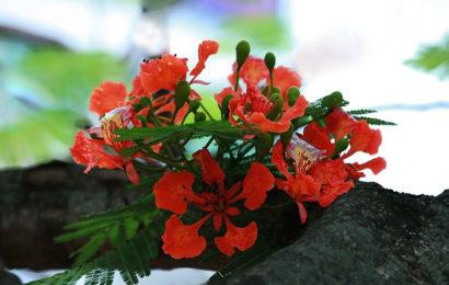 Tuyển tập những status chào tháng 6 với hình ảnh hoa phượng
