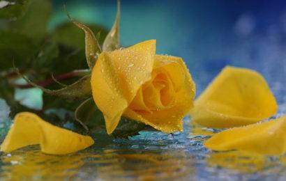 Tuyển tập hình nền hoa hồng vàng làm thiệp hoặc làm hình nền máy tính đẹp