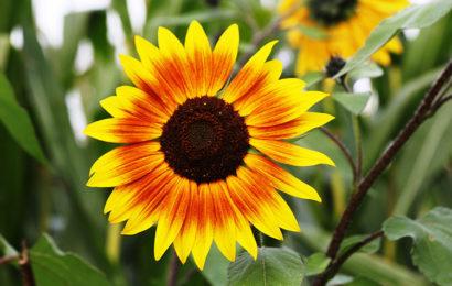 Tuyển tập những hình nền hoa hướng dương – hoa mặt trời full hd