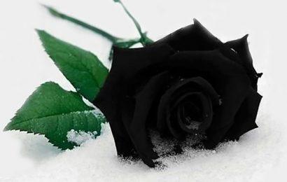 Top 20 cover và ảnh bìa facebook về hoa hồng đen đầy bí ẩn