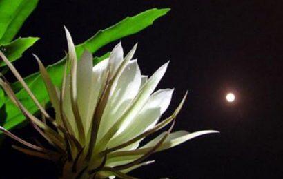 Tuyển tập STT về hoa Quỳnh, loài hoa lặng lẽ và thanh khiết nhất thế gian
