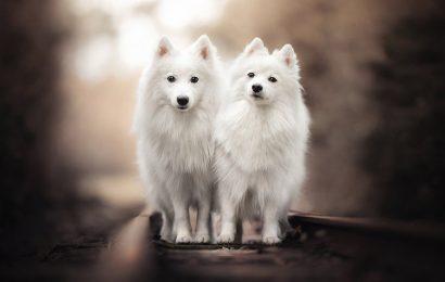 Top 30 hình nền động vật con chó Spitz Nhật cho máy tính full hd