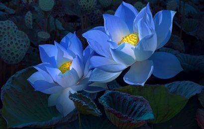 Tuyển tập hình nền hoa sen thuần khiết cho điện thoại đẹp nhất