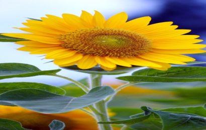 Tuyển tập 25 hình nền bông hoa đẹp nhất cho điện thoại Iphone
