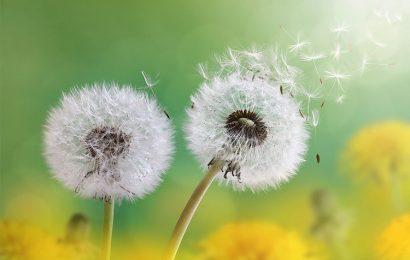 Share 50 hình nền bồ công anh (Dandelion) trong gió đẹp nhất cho iphone