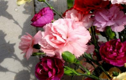Bộ sưu tập 50 hình nền hoa cẩm chướng rực rỡ cho máy tính