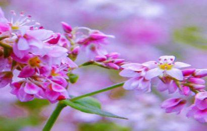50 hình nền hoa kiều mạch vùng Tây Bắc đẹp mê mẩn