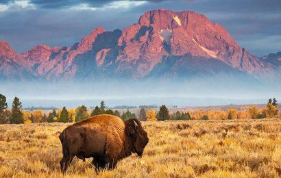 Tuyển tập 30 hình nền bò Bison châu Mỹ hoang dã cho máy tính