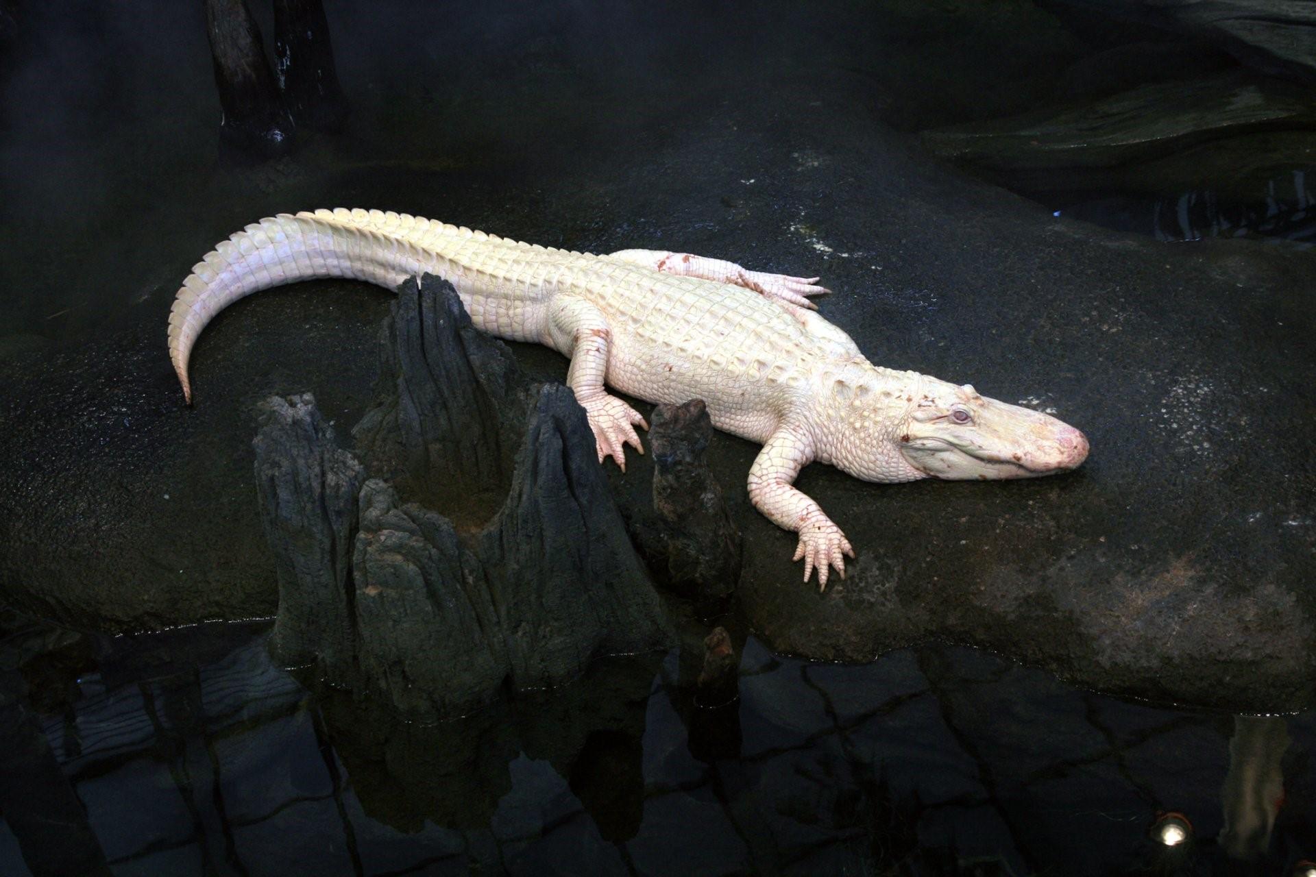 Hình nền cá sấu mõm ngắn cho máy tính số 19