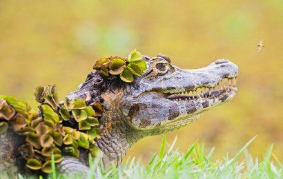 Tuyển tập 30 hình nền cá sấu mõm ngắn hiền lành cho máy tính