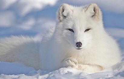 Tuyển tập 30 hình nền cáo trắng bắc cực dễ thương cho máy tính