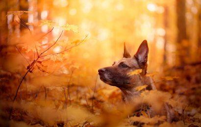 Top 30 hình nền chó becgie Bỉ Belgian Malinois cho máy tính
