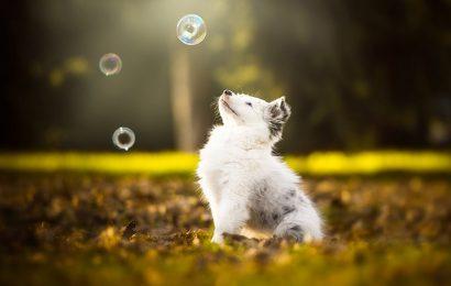 Top 50 hình nền chó chăn cừu Úc – Australian Shepherd hóm hỉnh