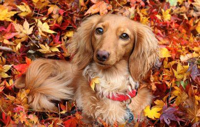 Share top 30 hình nền chú chó lạp xưởng Dachshund cho máy tính