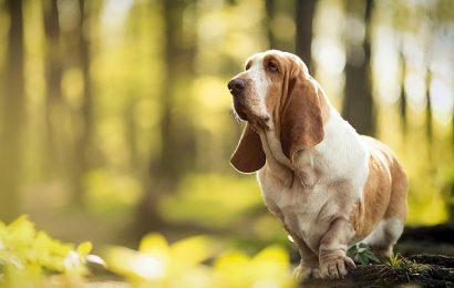 Top 30 hình nền chó săn chân lùn Pháp Basset Hound cho máy tính