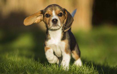 Tuyển chọn 30 hình nền chú chó săn thỏ Beagle cho máy tính