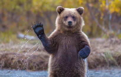 Top 30 hình nền gấu nâu hiền lành đẹp nhất cho máy tính