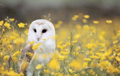 Top 30 hình nền chim cú mèo trắng barn owl cho máy tính