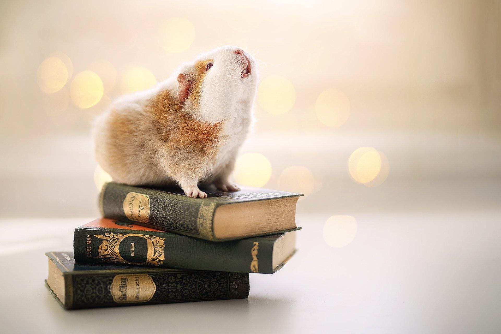 hình nền con chuột Hamster đang yêu cho máy tính số 20