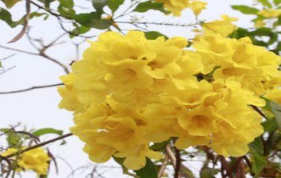 Tuyể tập 50 hình nền hoa chuông vàng cực đẹp full hd dành cho máy tính