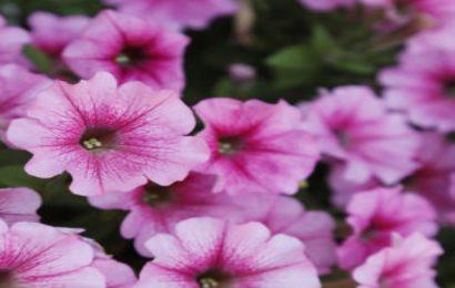 Share 50 hình nền hoa dạ yến thảo đầy màu sắc cho máy tính free