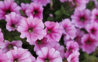 Tuyển chọn 30 hình nền hoa dạ yến thảo nhiều sắc màu cho máy tính