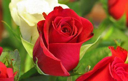 Tuyển tập hình nền hoa hồng đỏ rực rỡ cho điện thoại Oppo A12