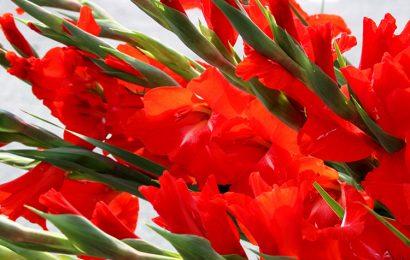 Tuyển tập 30 hình nền hoa lay ơn rực rỡ sắc màu cho máy tính