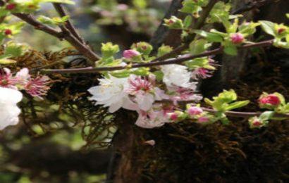 Top 50 hình nền hoa hoa nhất chi mai – hồng mai – bạch mai – hàn mai đẹp