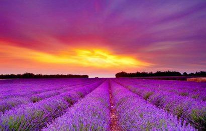 Hình nền cánh đồng hoa oải hương bát ngát cho điện thoại OPPO A93