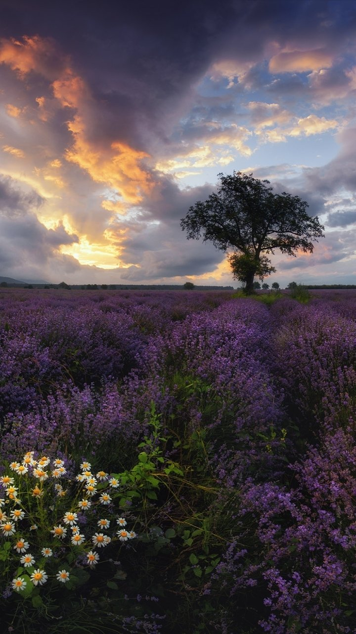 hinh-nen-hoa-oai-huong-lavender-cho-dien-thoai-4