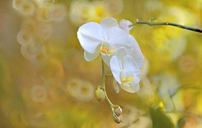 Top 60 hình nền hoa phong lan thanh nhã cực đẹp cho máy tính