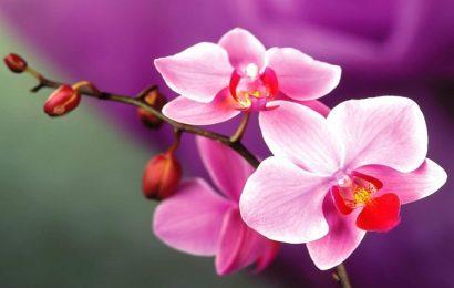 Share bộ ảnh nền hoa phong lan đẹp nhất cho máy tính, laptop, macbook