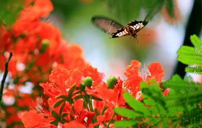 Top 50 hình nền hoa phượng đỏ rực rỡ ngày hè cho máy tính