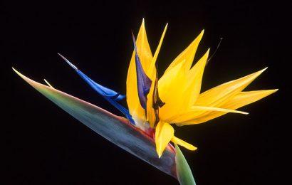 Tuyển chọn 30 hình nền hoa thiên điểu đẹp nhất cho máy tính