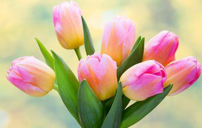 Top 50 hình nền hoa tulip lung linh cực đẹp cho máy tính