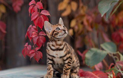 Top 30 hình nền chú mèo Bengal đốm hoa cực đẹp cho máy tính