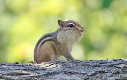 Chia sẻ top 30 hình nền sóc chuột chipmunk nhỏ xinh cho máy tính