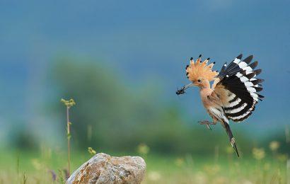 Share top 30 hình nền chim đầu rìu Hoopoe độc đáo cho máy tính