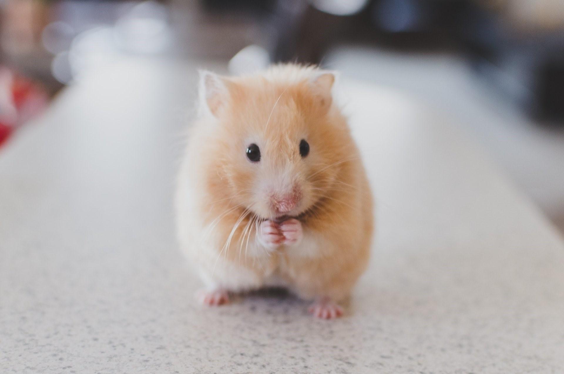 Hình nền con chuột hamster cho máy tính số 19