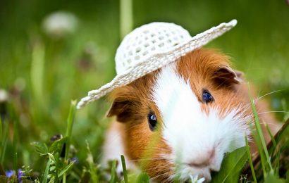 Share top 30 hình nền chú chuột lang guinea pig đáng yêu cho máy tính